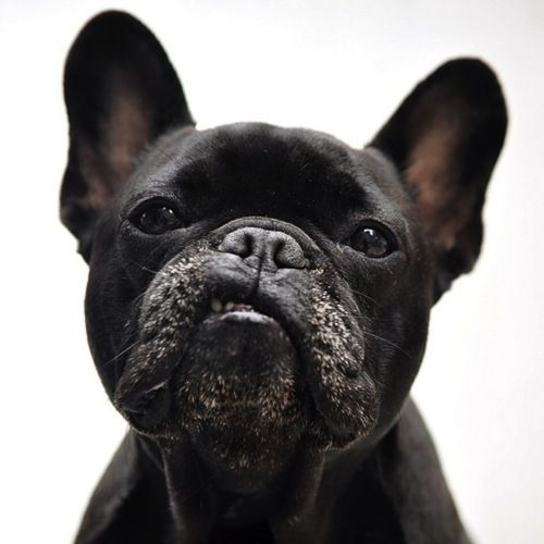 you talk'n to me French Bulldog