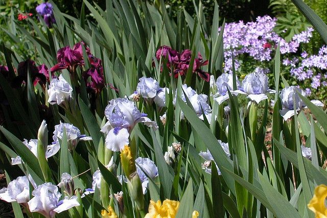Iris 'Forever Blue' in noon light with Iris 'Candy Apple' and others.  In the upper left is an  Iris germanica from my wife's grandmother.  That iris was the beginning of my iris collection.