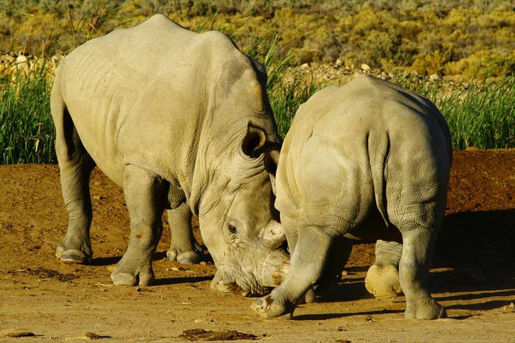 Read the latest blog post, written by one of the Cape Cheetah volunteers about Inverdoorn's rhinos!