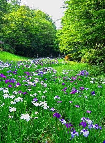 Country the shobu flower garden The Shobu flower (Acorus calamus) garden. Meiji-Jingu Shrine Gyoyen Park, Tokyo.