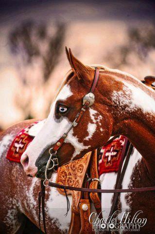 Blue-eyed chestnut overo Paint Horse