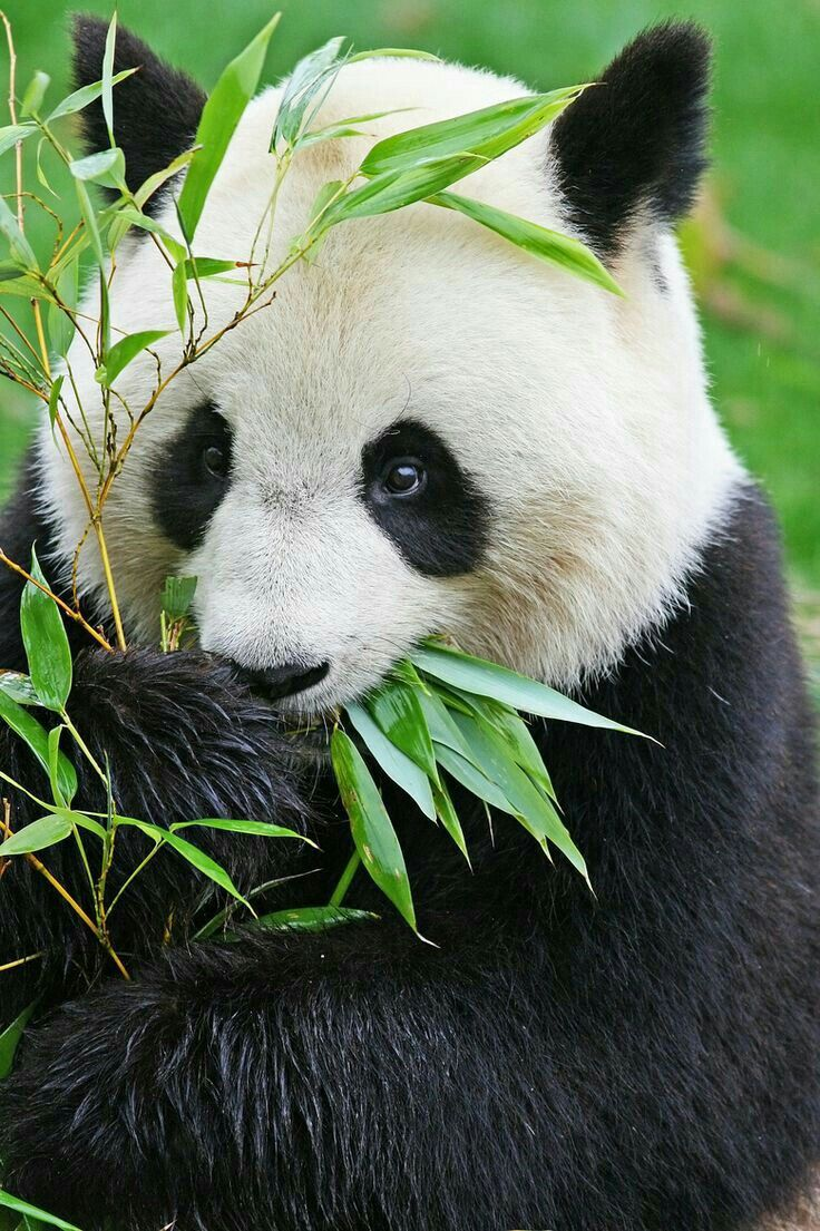 фото с пандами милые танцевальная часть