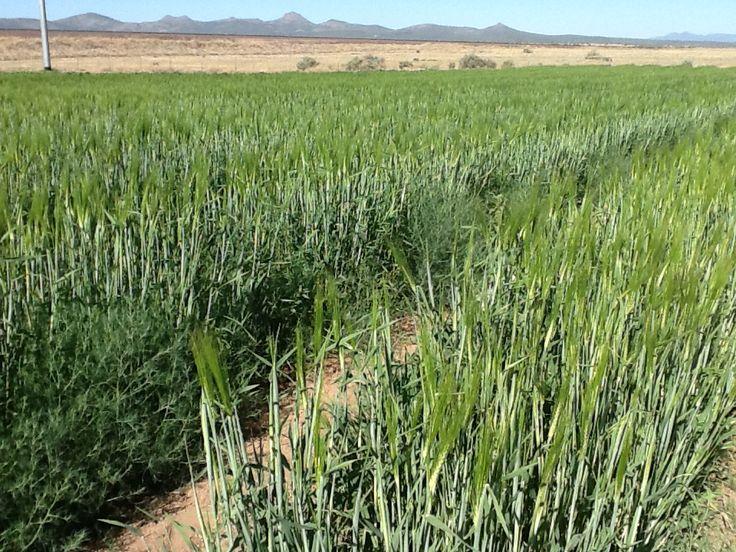 barley, heading up