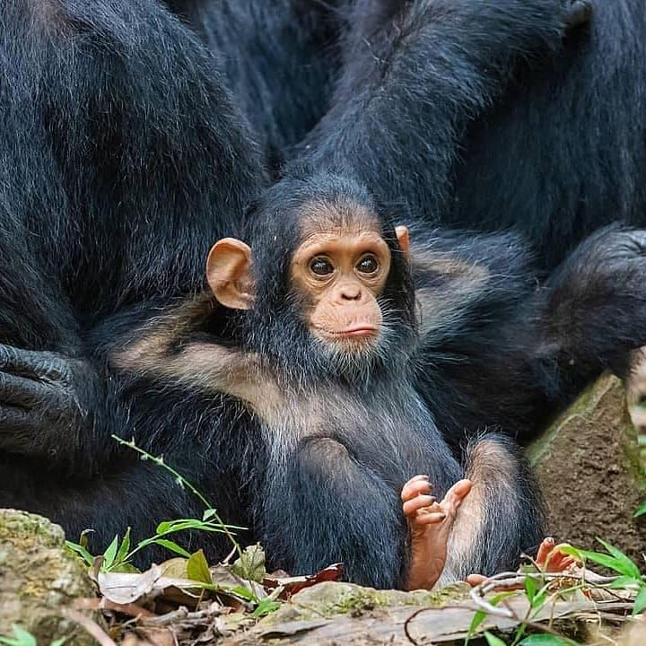 Baby Chimp Trivet
