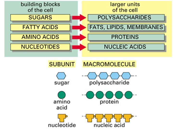 simple diagram of macromolecules, proteins, carbohydrates, lipids - amino acid chart
