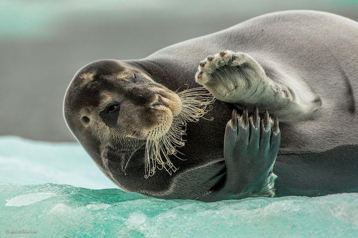 """Flirting Bearded Seal (Erignathus barbatus)"" by Audun Rikardsen, Norway."