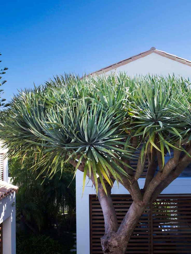 Dracaena draco - We love this could one possibly go into a pot at the these go in a pot at the entrance?