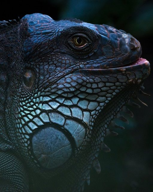 It's called an Iguana.. | Sylvain Fleur