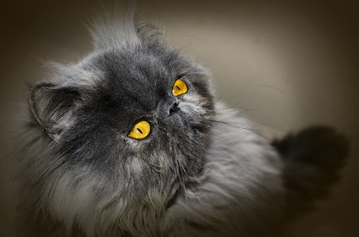 #CleanIngredients  Conjunctivitis in cats – the Persian breed: causes and remedies #dogs #cats