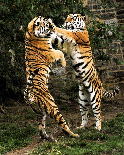 Tiger ka-POW! | by moocatmoocat