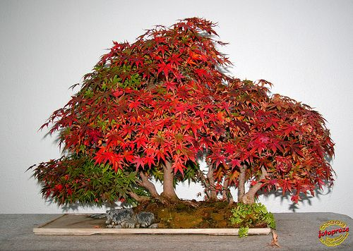 Bonsaï & Penjing - Japanese maple - Acer palmatum ssp matsumurae - Sapinaceae - Donated by the Government of China - 40 years old C20091124 041 | Flickr: Intercambio de fotos