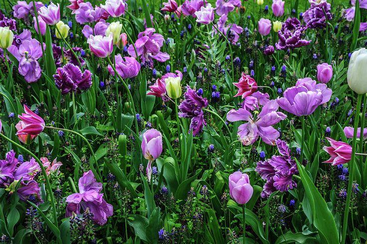 Carpet Of Purple Tulips In Keukenhof Photograph by Jenny Rainbow