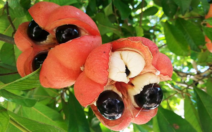 Ackee, Jamaica's national fruit, is native to West Africa ...