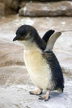 Cute Baby Penguin Flapping It's Wings