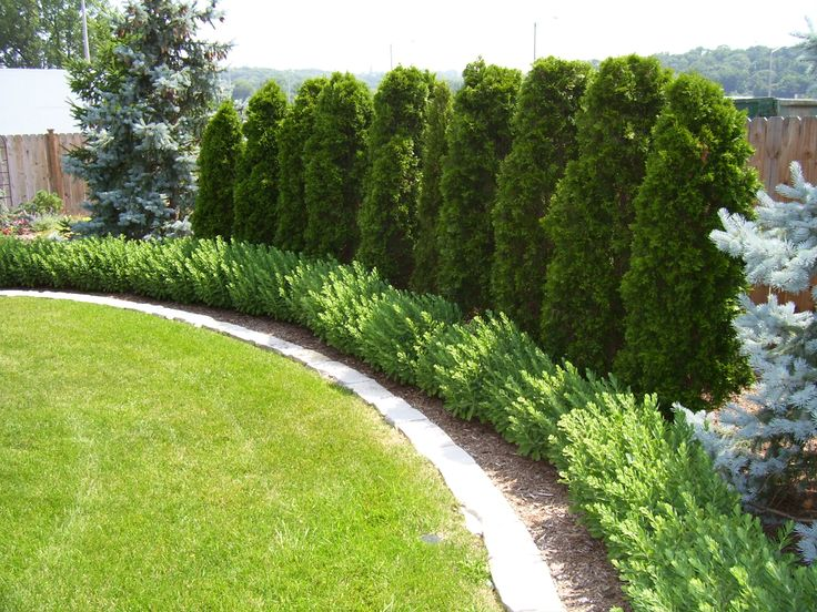 tall evergreen plants along property line - Garden Ideas Along Fence Line