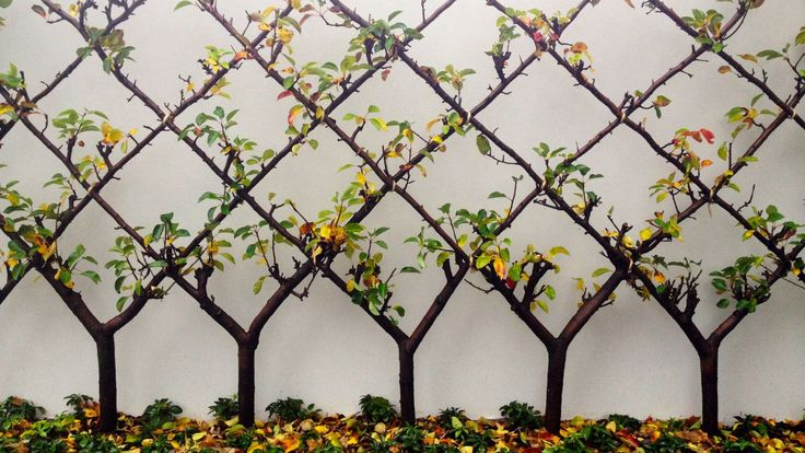 .pollarded trees are beautiful and grow fruit efficiently in a small space.