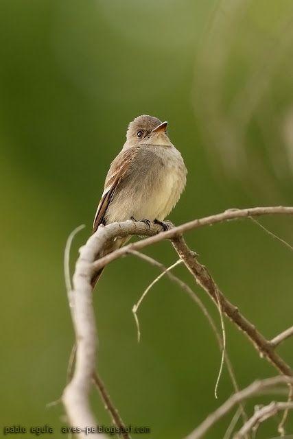 mis fotos de aves: Pibí Occidental [Contopus sordidulus] Western Wood...