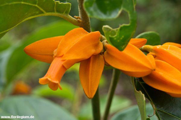 #Juanulloa mexicana http://www.florilegium.de/blog/pflanzen/blumen-im-garten/exotische-kuebelpflanze-juanulloa-mexicana.html