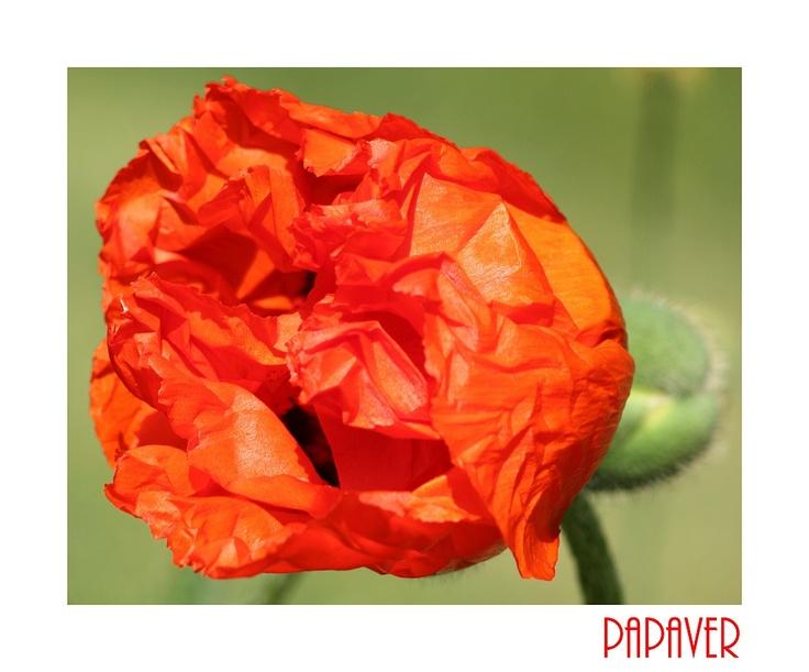 klaproos I poppy