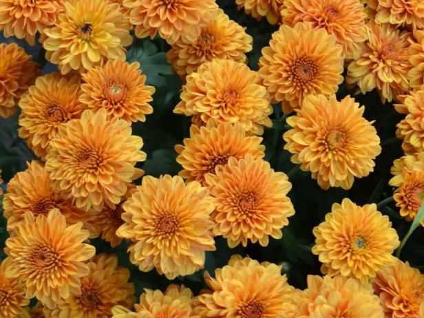 Learn about the hidden meaning of chrysanthemum flowers, including chrysanthemum symbolism in other cultures, from experts at HGTV Gardens.