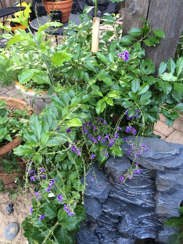 Duranta (duranta erecta): This appears be a flowering shrub called Duranta erecta.  Known for its profuse clusters of purple, blue, pink or white flowers. It is very heat tolerant.  Note that all parts are poisonous if ingested. Needs full sun and moderate water.  Not frost hardy.