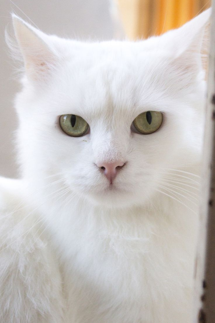 White Squishy Face Cat : View topic - What's the Warrior Cat Name of the User Above You? V.2(Poll) - Chicken Smoothie