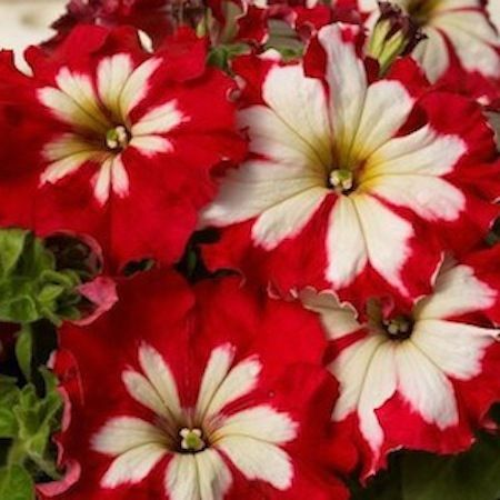 Petunia 'can can harlequin cherry rose'
