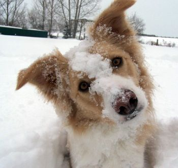 Border Collie!  Our first dog, Goldie looked almost just like this picture!  She lived to be 15 years old!  We loved her brown noses and perky ears!