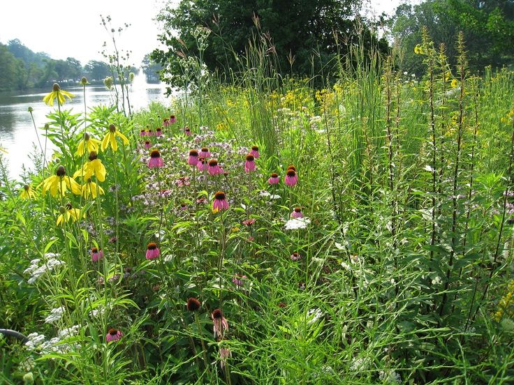 9 best watershed ideas images on pinterest rain garden for Plants for pond filtration
