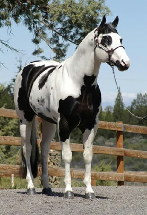 Black & White American Paint Horse (APHA)