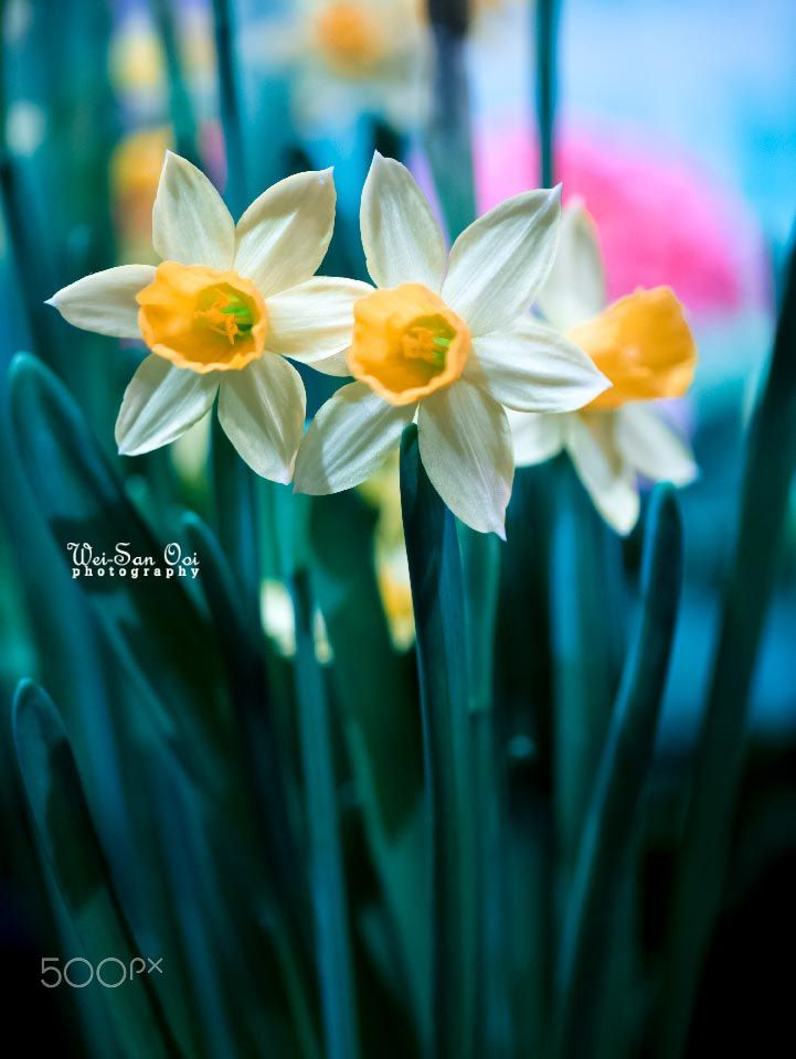 Daffodils 16 Featured On 500px Iso Https Iso 500px Com 31 Incredibly Captivating Flower Photos By Wei San Daffodils Flower Photos Blossoms Art