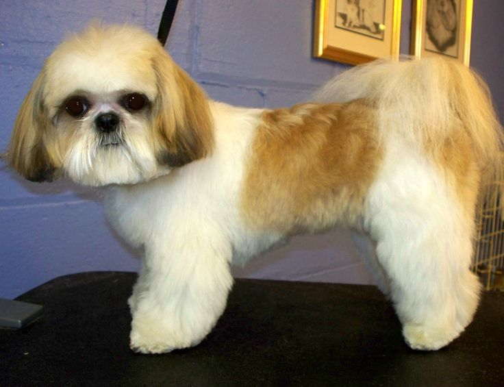 Picture of a shaved shit tzu