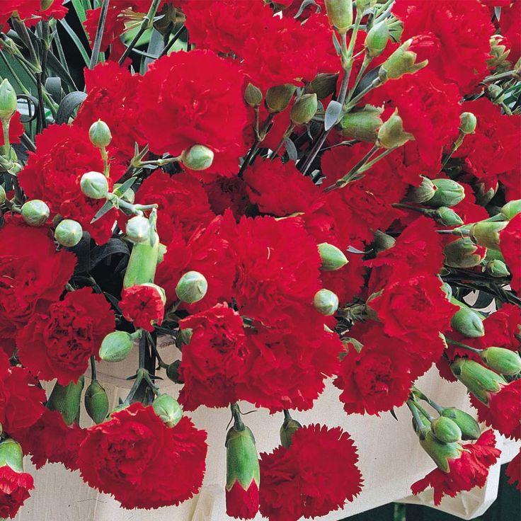Dianthus Caryophyllus CV Carnation | Flowers Flower Seeds Perennial & Biennial Seeds Dianthus caryophyllus ...
