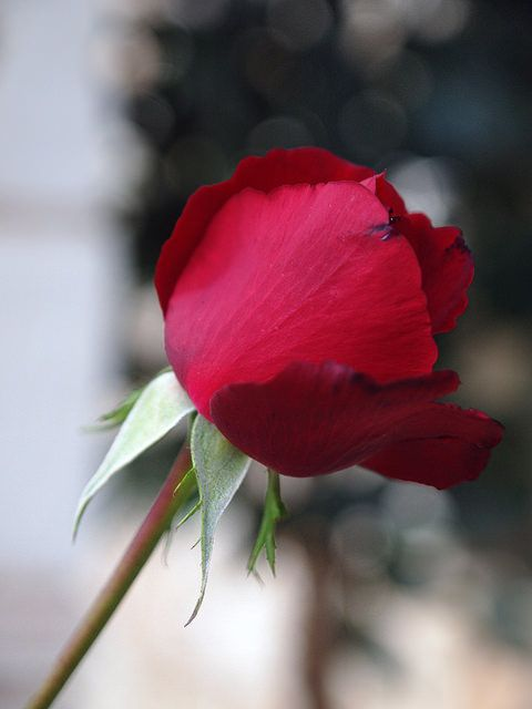 DROUSSIA ROSE 5300 | Flickr - Photo Sharing!