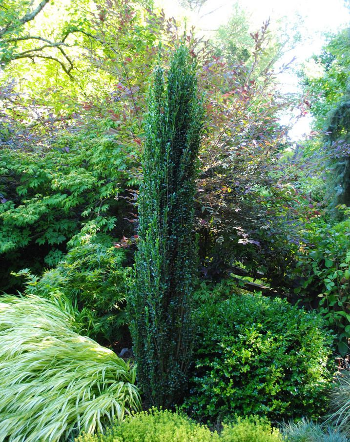 Sky pencil conifer gardens focal point landscape ideas pencil