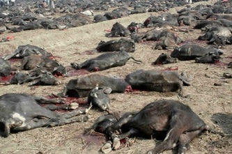 There have been protest against this mass animal slaughtering but despite all the protests, the festival and the slaughtering of animals went on in 2009 festival.  Around 250.000 animals were slaughtered including the young ones of the animals.