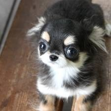 So sweet ~ long haired chihuahua