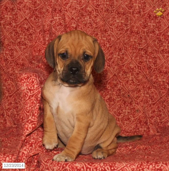 puggle puppy for sale near lancaster pennsylvania 17 best images about puggles on pinterest puggle puppies