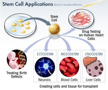 http://science.howstuffworks.com/life/cellular-microscopic/stem-cell5.htm