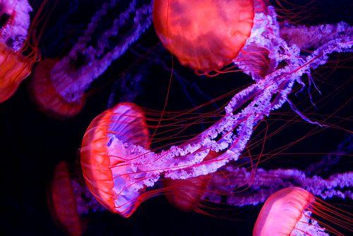Zdjęcie Świecące meduzy - inspirujące zdjęcia pod wodą obrazek