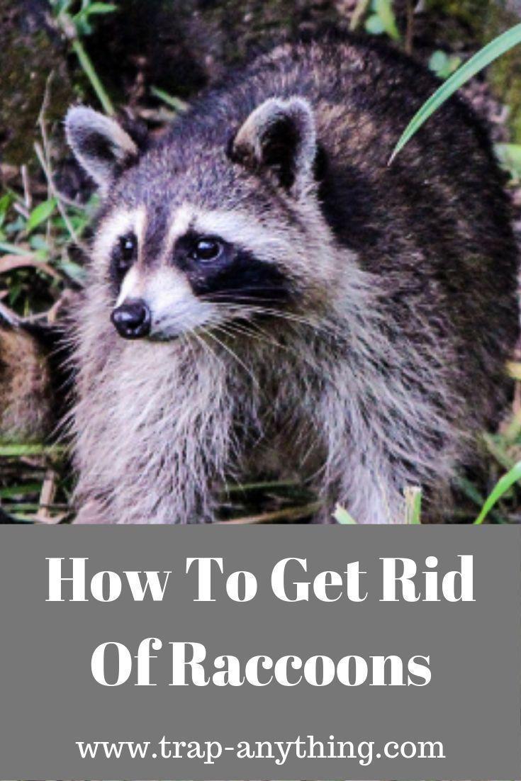 Get Rid Of Raccoons From Bird Feeders Or Pet Food Getting Rid