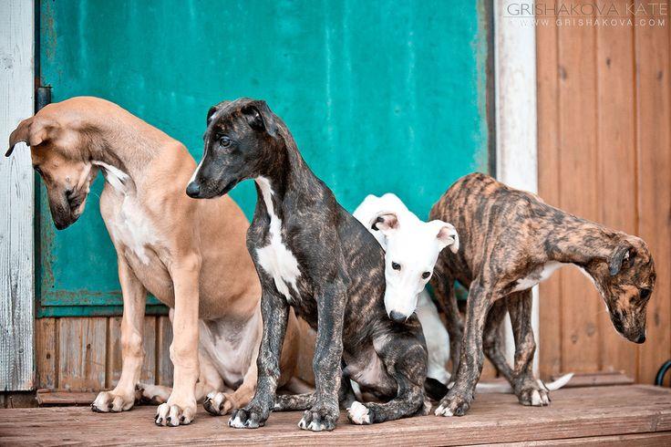 Puppies Greyhound ;)