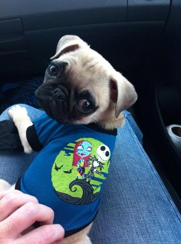 Cute Emergency on | Cute DOGS! | Cute pug puppies, Pugs ...