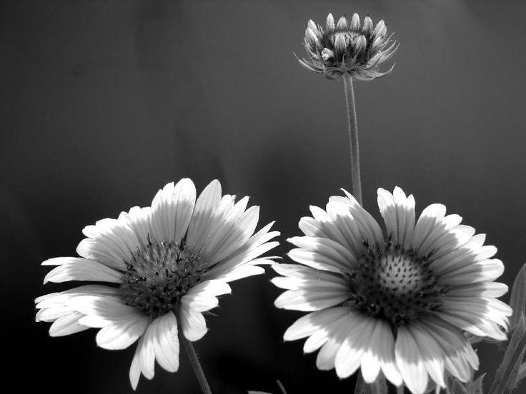 B sunflowers