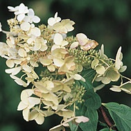 Botanical Name: Hydrangea paniculata 'Limelight'hy-DRAIN-jah pah-nik-yew-LAY-tahCommon Name: 'Limelight' panicle hydrangeaGenus: Hydrangea  This variety of the popular panicle hydrangea boasts very large, lime green blooms in mid-summer that turn pink in fall. A deciduous shrub, it grows to 8 feet tall and 6 feet wide with large, mid-green leaves. The blooms make good cut and/or dried flowers, but can be left on the plant for winter interest.