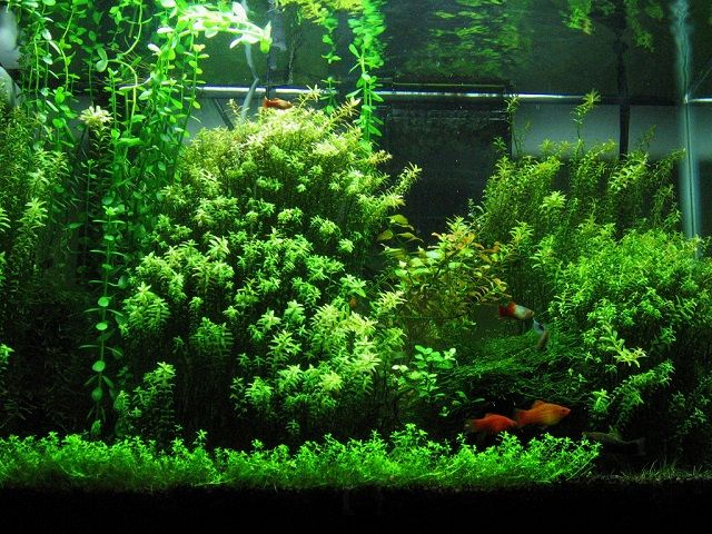 17 best images about planted fish tanks on pinterest for Plants that live in a pond