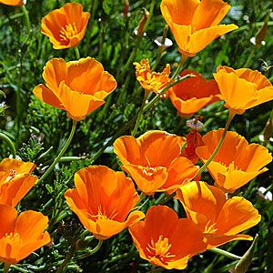 California Poppy Eschscholzia Californica Free Branching From Base With Slender 8