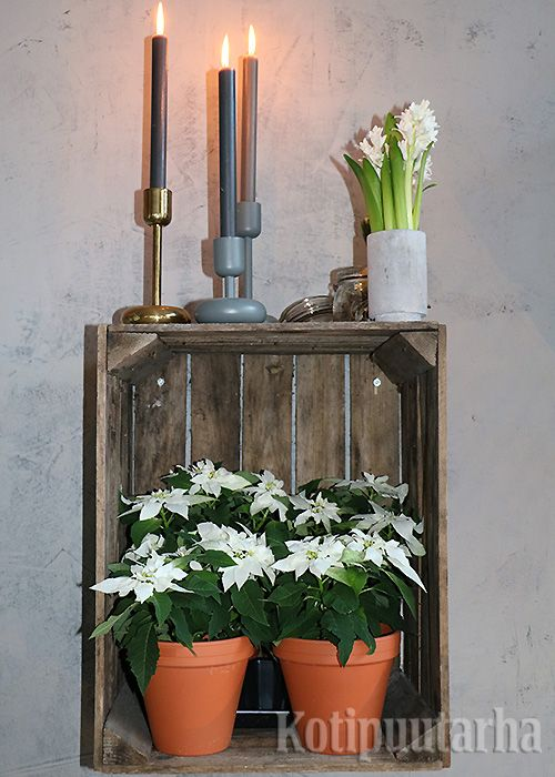 Muutama joulutähti saviruukuissa, hyasintti betonimaljassa ja kynttilöitä. Yksinkertaista ja kaunista!