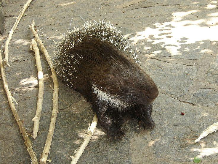 Porcupine Berlin Zoo - Североамериканский дикобраз — Википедия