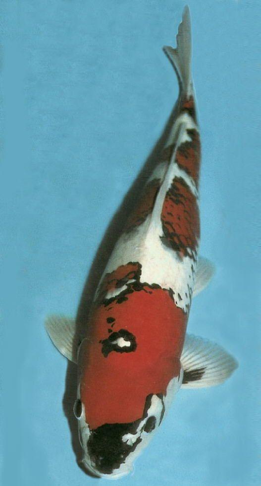 17 best images about koi on pinterest japanese koi for Koi fish names